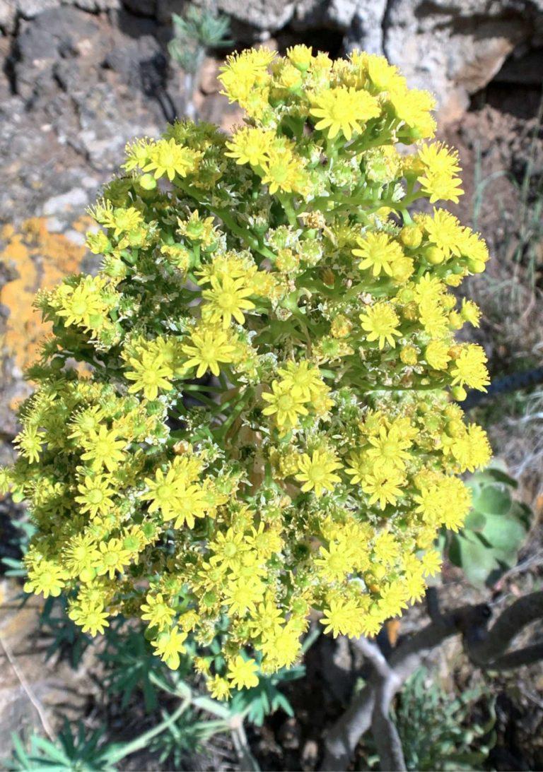 Ein gelbe Aeonium im Spanischen Bejeque genannt