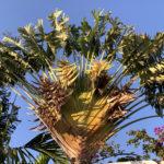 Ein Baum der Reisenden vor blauem Himmel
