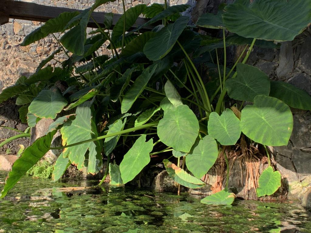 Eine Wasserbrotwurzel auch als Taro bezeichnet am Waschplatz ; Bild: Roland Strobl