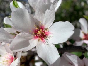 Makroaufnahme einer Mandelblüte: Fünf geöffnete weiße Blätter, rosa Innenfarbe und gelbe Fruchtstempel