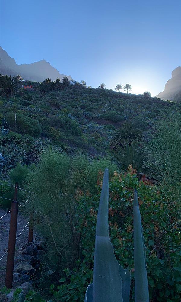 Masca Schlucht. Palmen werden von der aufgehenden Sonne beleuchtet. Stimmungsbild
